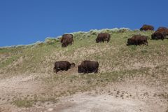 Bison de parc de Yellowstone Photo stock