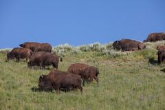 Bison de parc de Yellowstone Image stock
