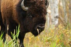 Bison de plaines Image stock