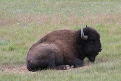 Bison de plaines - gorge grande photos libres de droits