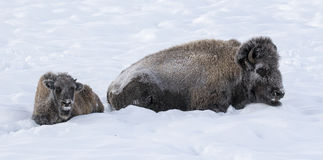 BISON IN DEEP SNOW STOCK IMAGE Royalty Free Stock Photography