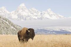 Bison an den großartigen Teton Bergen lizenzfreie stockbilder
