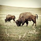 Bison, der altes Foto weiden lässt Lizenzfreie Stockfotos