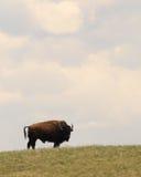 Bison, der auf dem Gebiet steht Lizenzfreie Stockfotos
