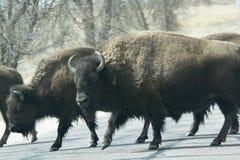 Bison, der die Straße kreuzt Stockfoto