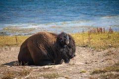 Bison, der durch den Fluss schläft lizenzfreies stockbild