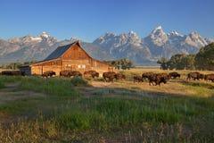 Bison, der durch Moulton Barn, großartiges Teton NP überschreitet Lizenzfreies Stockfoto
