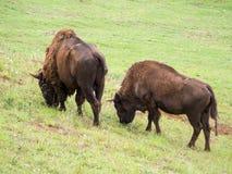 Bison, der in einer Wiese weiden lässt lizenzfreie stockfotos
