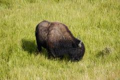 Bison, der im lammar Tal weiden lässt stockfotografie