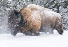 Bison, der Kopf im tiefen Schnee des Knies rüttelt stockbild