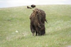 Bison, der nah vorbei weiden lässt lizenzfreie stockbilder