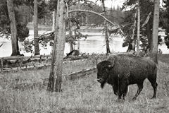 Bison in der Natur Stockbilder