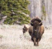 Bison, der vorwärts in Gras mit Baumhintergrund geht lizenzfreie stockfotos