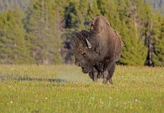 Bison, der weg vom Staub von einer Rolle rüttelt Stockfotos