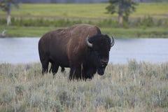 Bison in der Wiese lizenzfreie stockbilder