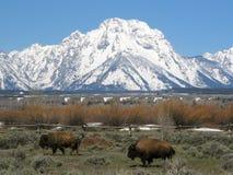 Bison deux devant la chaîne de montagne de Teton au Wyoming, Etats-Unis image libre de droits