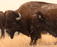Bison Disrespectful Youth. A young American Bison flicking out its tongue to its mother in Montana Stock Photos