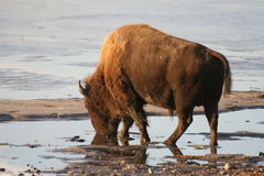 Bison drinking water. National park, elk island, canada Royalty Free Stock Photo