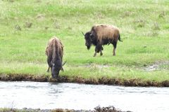 Bison Drinking Water from Yellowstone River. A Bison Drinking Water from Yellowstone River while another chewing on grass royalty free stock photos