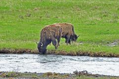 Bison Drinking Water from Yellowstone River. A Bison Drinking Water from Yellowstone River while another chewing on grass royalty free stock photography