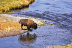 The bison drinks water Stock Image