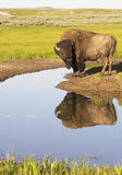 A Bison drinks water from a clear blue pond. Stock Photos