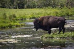 Bison durch den See stockfotos