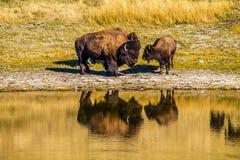Bison durch den Teich, Waterton Seen Nationalpark, Alberta, Kanada Lizenzfreies Stockbild
