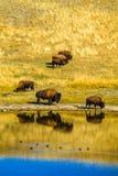 Bison durch den Teich, Waterton Seen Nationalpark, Alberta, Kanada Lizenzfreies Stockfoto