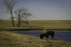 Bison in Early Spring. A bison stands by a pond, munching on grass, in a field Stock Image