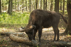 Bison eating bark Royalty Free Stock Photos