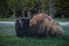 Bison Eating Grass During Sunset in Biscuit Basin in Yellowstone National Park, Wyoming. Yellowstone National Park is a nearly 3,500-sq.-mile wilderness Stock Photos