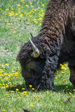 Bison Eating Yellow Flowers royalty-vrije stock afbeelding