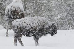 Bison in einem Blizzard mit großen weichen Schneeflocken Stockfotos