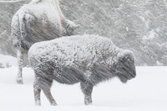 Bison in einem windigen Blizzard Stockbild