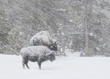 Bison in einem windigen Blizzard im Wald Lizenzfreies Stockfoto