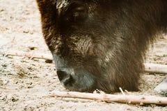Bison in einem Zoo Stockfotografie