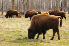 Bison in elk island Stock Photography