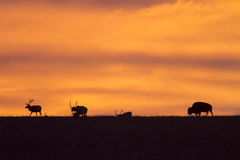 Bison and elk silhouette, red sky sunrise Stock Photography
