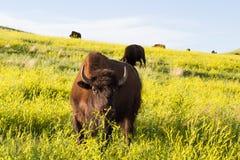 Bison eller bufalo för vuxen man royaltyfri bild