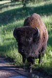 Bison eller bufalo för vuxen man royaltyfri foto