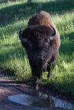 Bison eller bufalo för vuxen man royaltyfria bilder