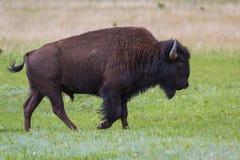 Bison eller buffel Arkivbilder
