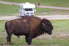 Bison eller buffel royaltyfria foton
