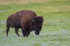 Bison eller buffel royaltyfri bild