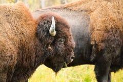 Bison en bois photos libres de droits
