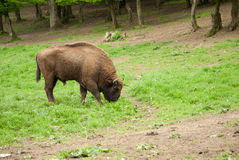 Bison en bois sauvage buffle Photos stock