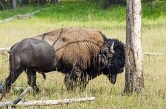 Bison en parc Image libre de droits