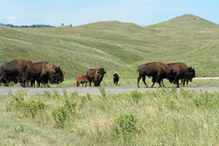 Bison en stationnement d'état de Custer, le Dakota du Sud photo libre de droits