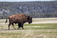 Bison en stationnement national de yellowstone Images stock